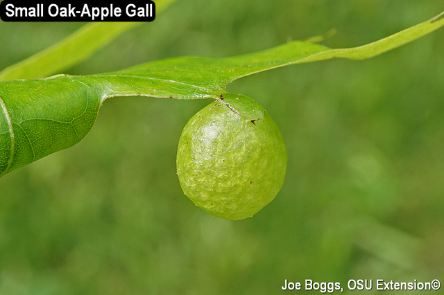Small Oak-Apple Gall