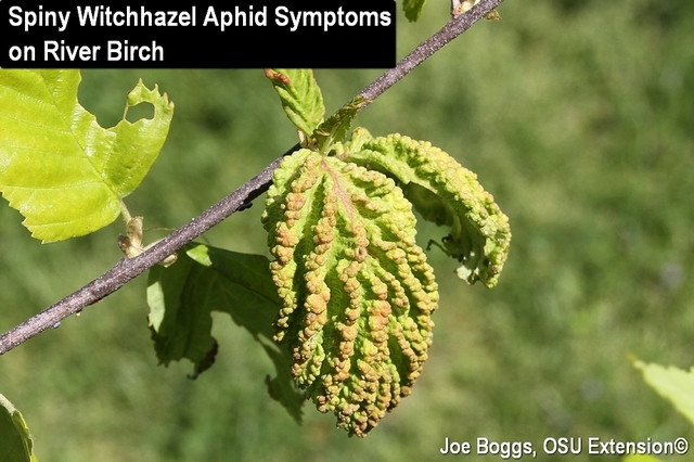 Spiny Witchhazel Aphid