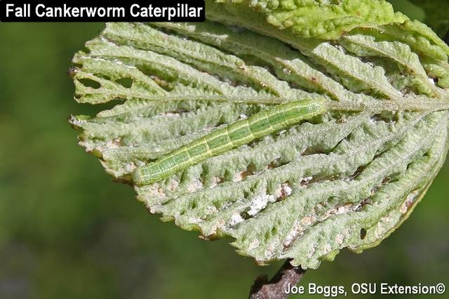 Fall Cankerworm w-Spiny Witchhazel Aphid