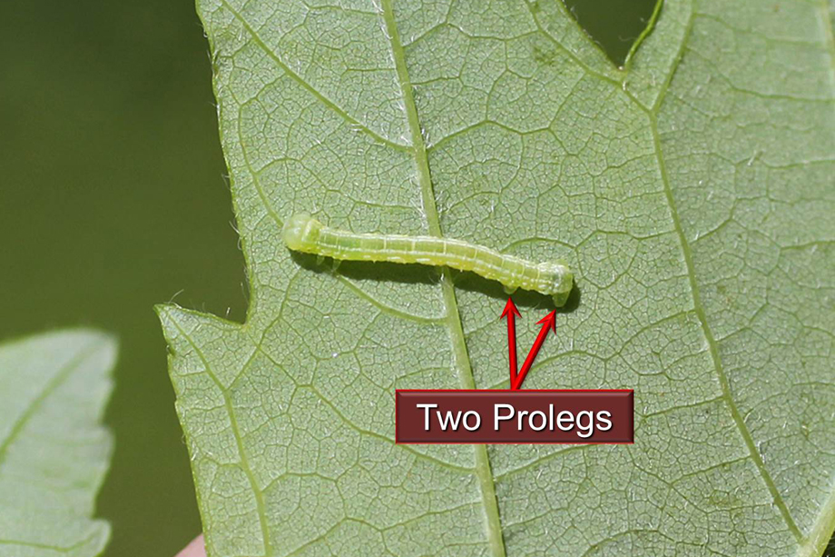 Spring Cankerworm Prolegs