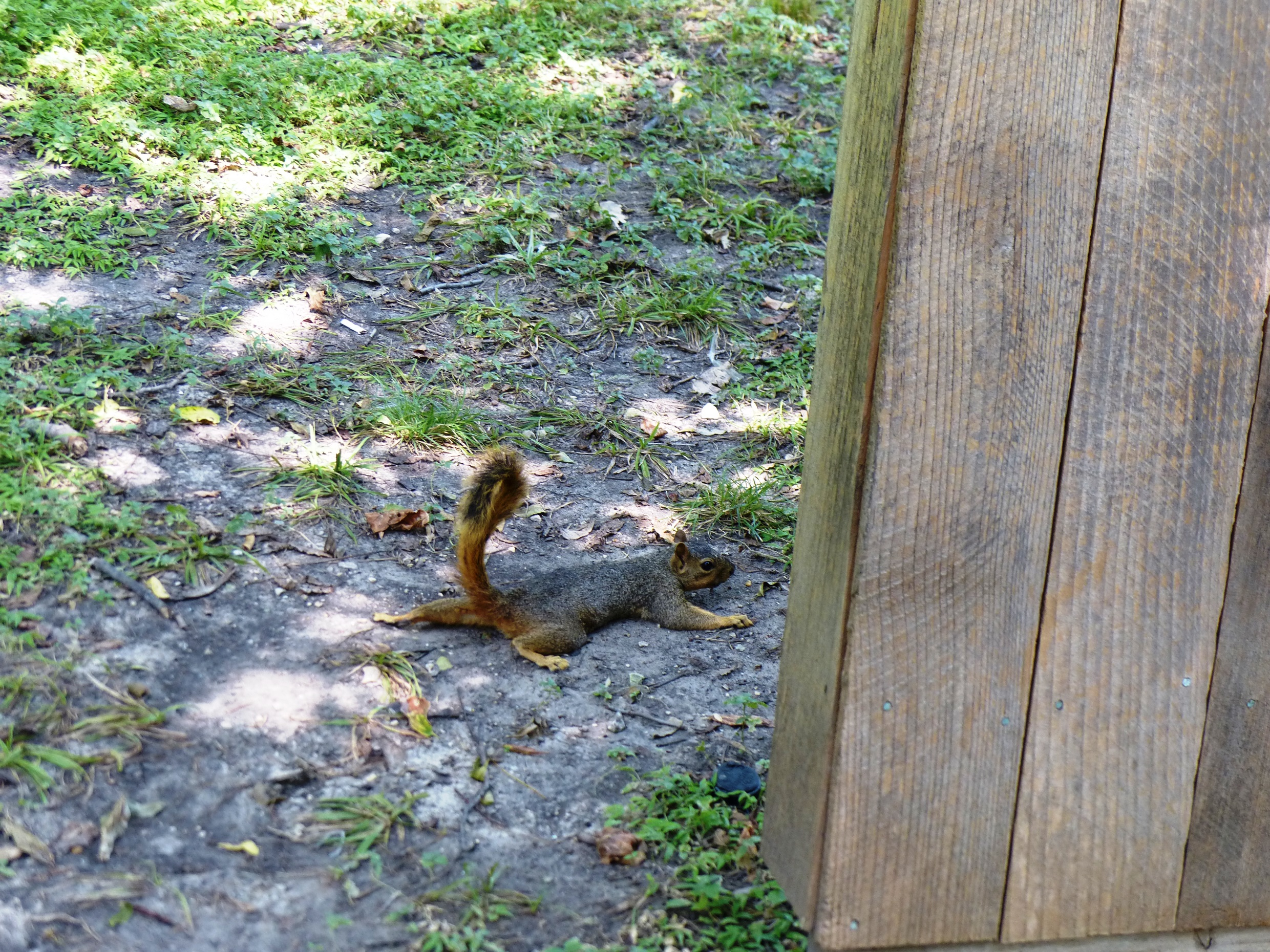 squirrel in Fort Worth heat