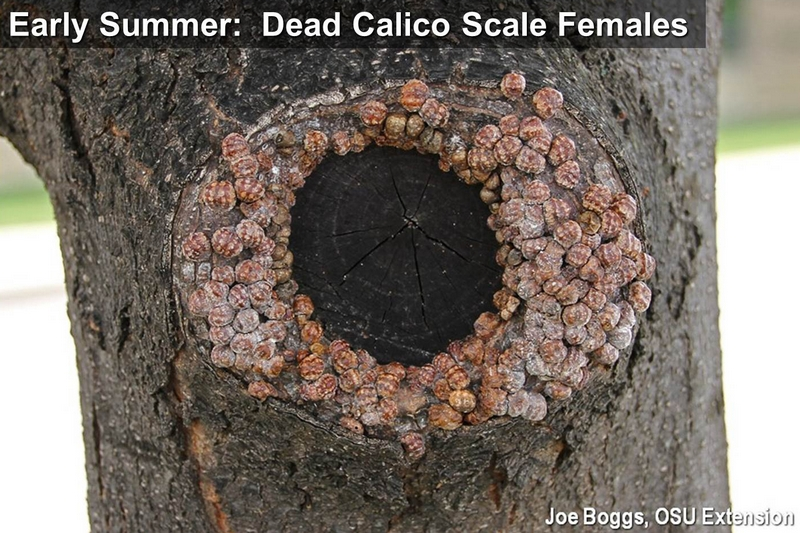 Dead Summer Calico Scale Females