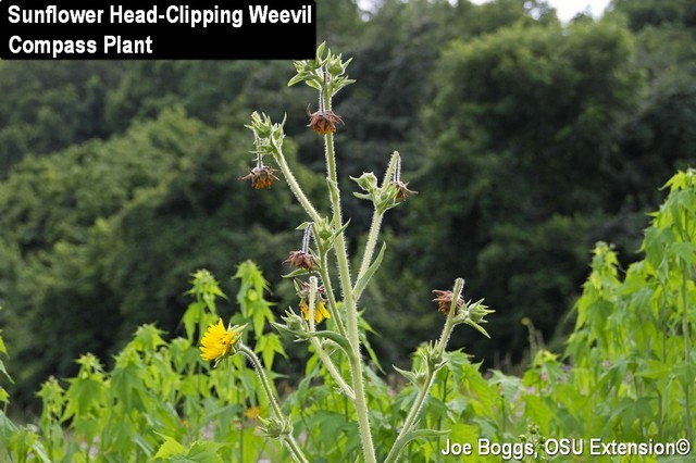 Sunflower Head-Clipping Weevil