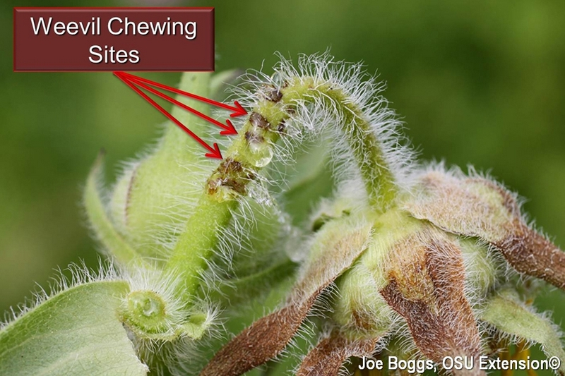 Sunflower Head-Clipping Weevil Chewing Sites