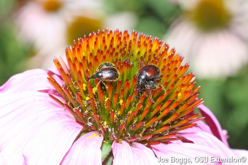 Sunflower Head-Clipping Weevils
