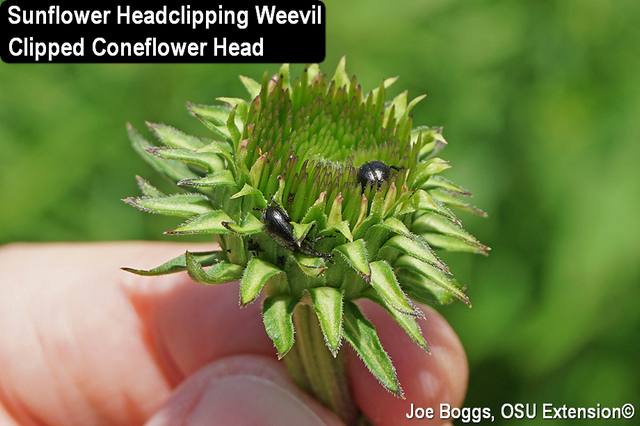 Conflower Headclipping Weevil
