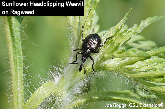 Sunflower Headclipping Weevil