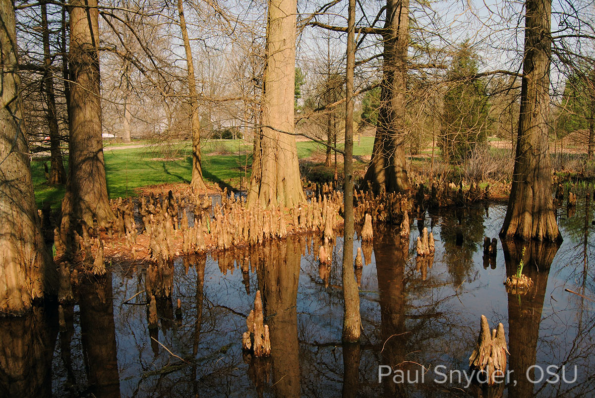 Taxodium distichum knees at Dawes Arboretum