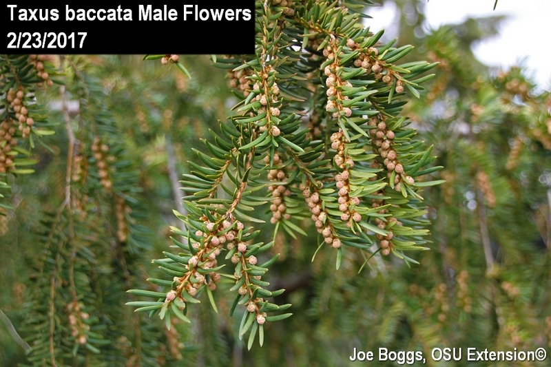Taxus baccata male flowers