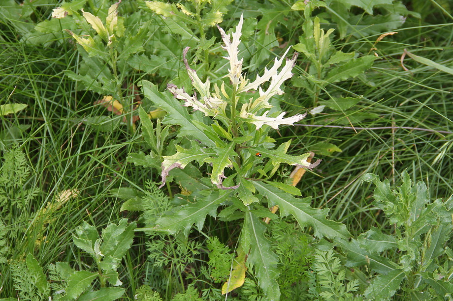 Canada thistle infected with a bacterium