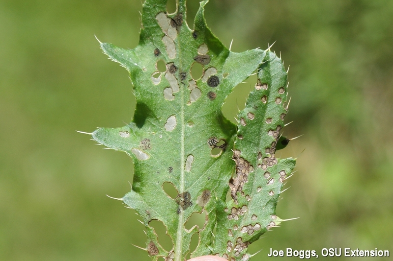 Thistle Tortoise Beetle Damage