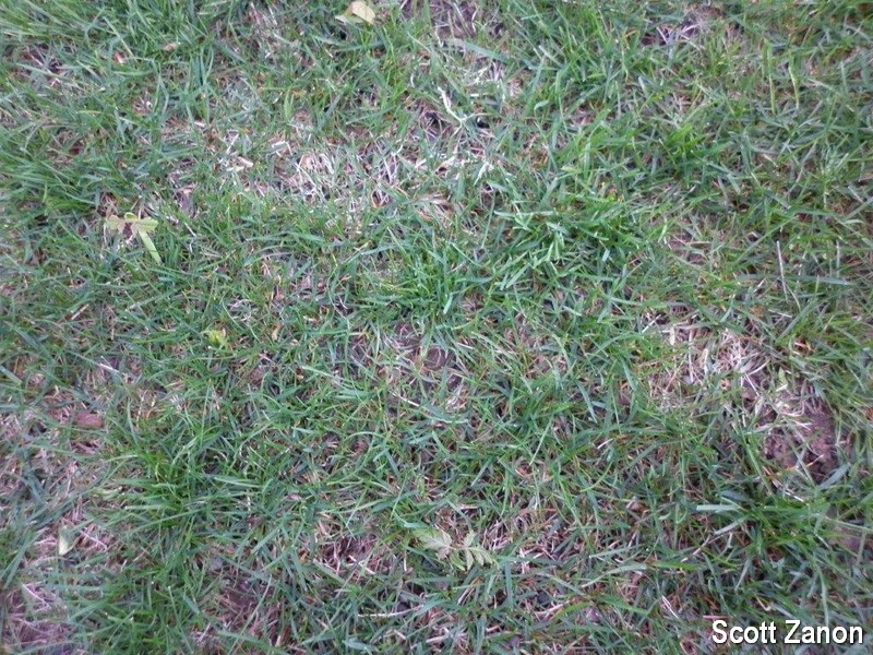 Shaded, thin lawn