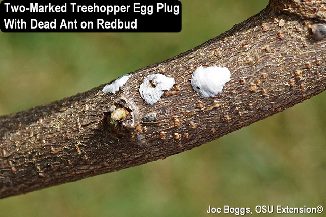 Two-Marked Treehopper
