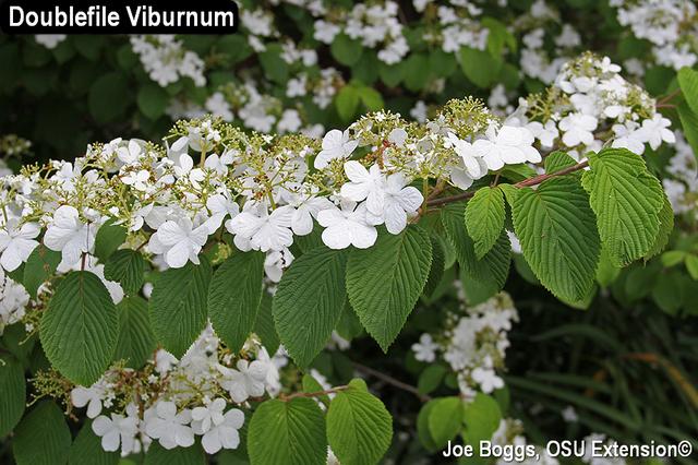 Doublefile Viburnum
