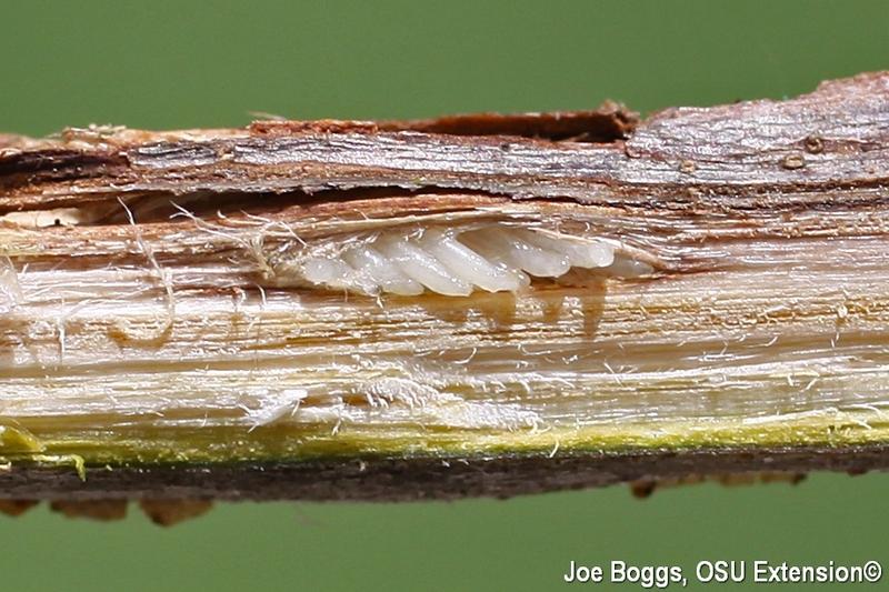 cicada eggs - photo #33