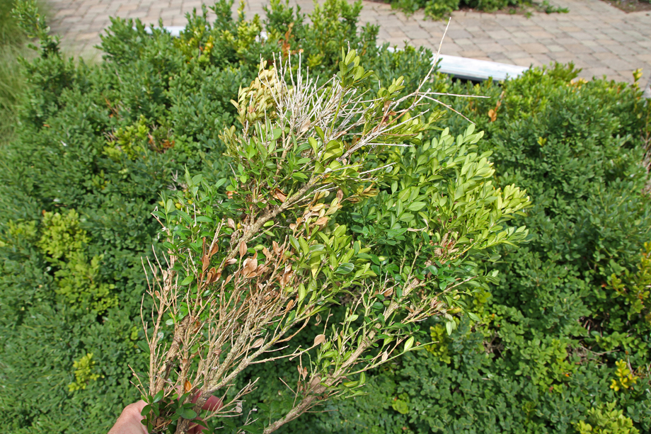 Sectional Dieback from Volutella Canker on Boxwoods