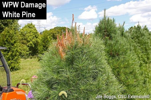 White Pine Weevil