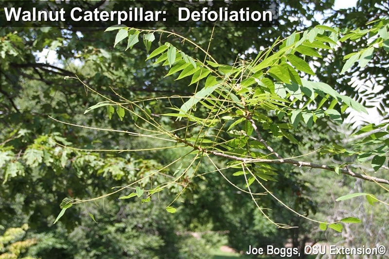 Walnut Caterpillar Defoliation