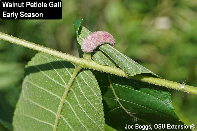 Walnut Petiole Galls