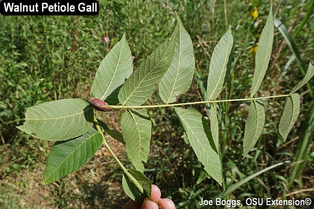 Eriophyid Galls