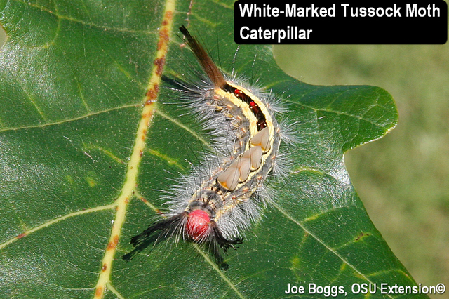 White-Marked Tussock Moth Caterpillars