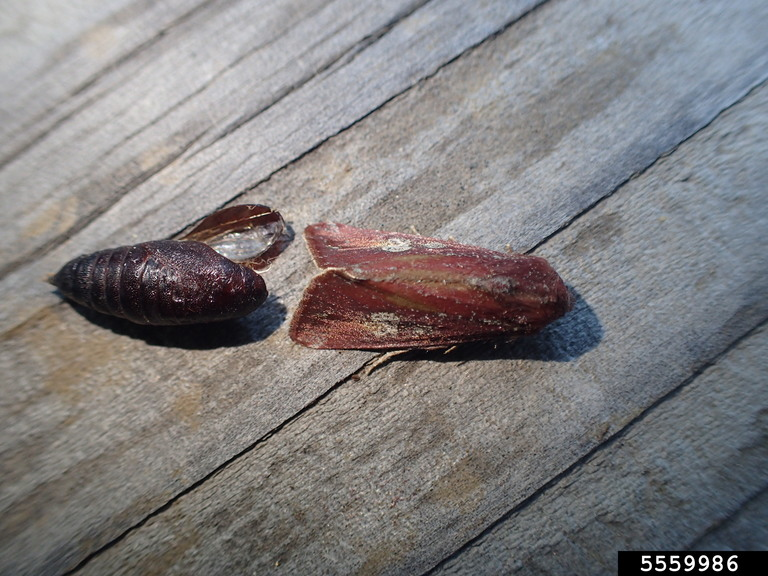 Adult and Pupa