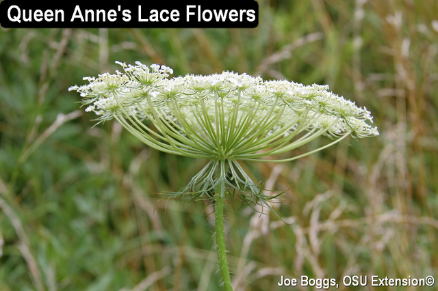 Queen Ann's Lace