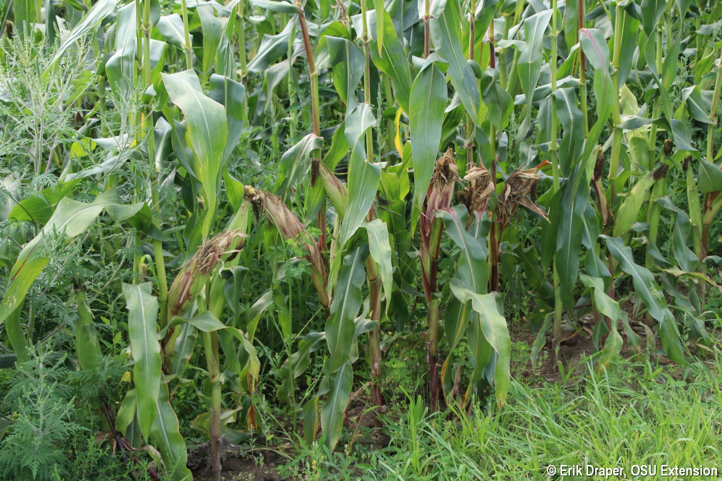 Damage evident on edge of field of sweet corn