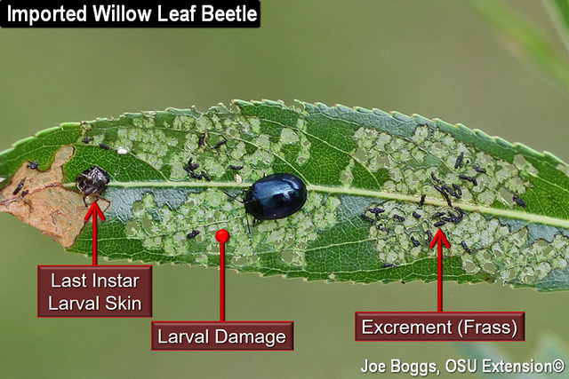 Imported Willow Leaf Beetle