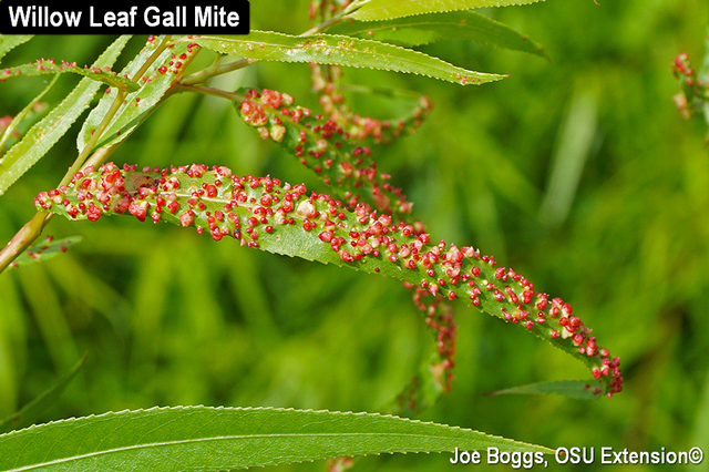 Willow Leaf Gall Mite