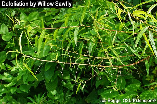 Willow Sawfly