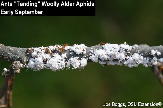 Woolly Alder Aphids