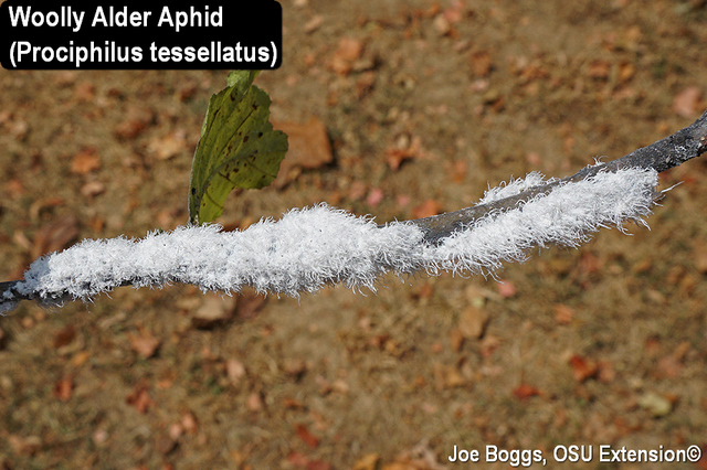 Woolly Alder Aphid