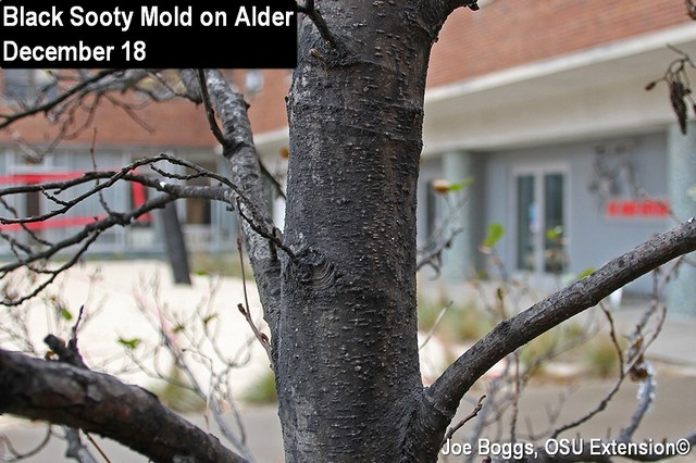Woolly Alder Aphid Sooty Mold