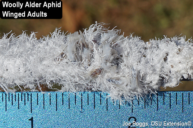 Woolly Alder Aphid​​
