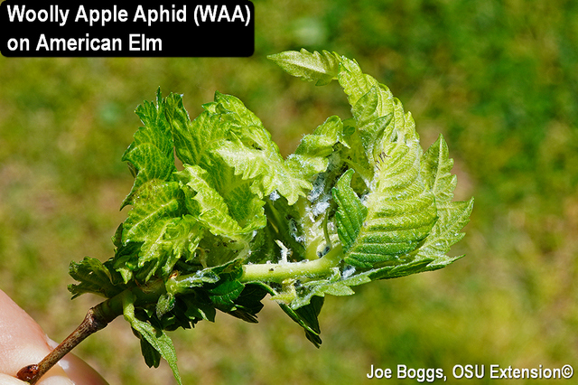 Woolly Apple Aphid