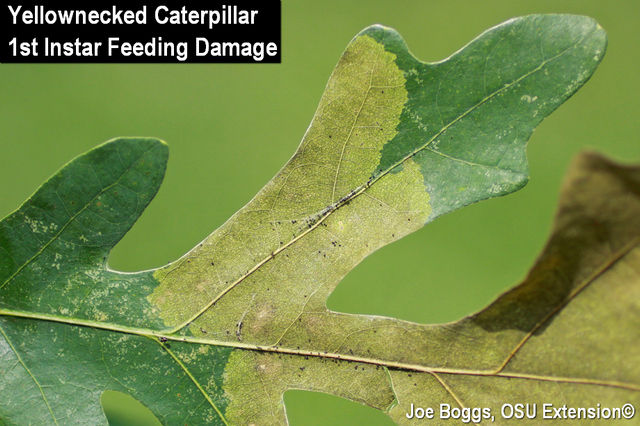 Yellownecked Caterpillar
