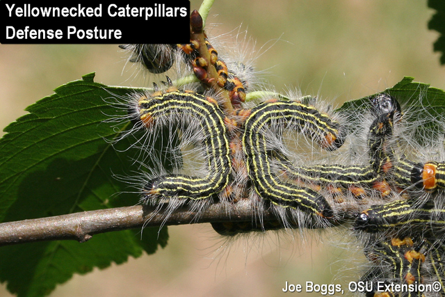 Yellownecked Caterpillars