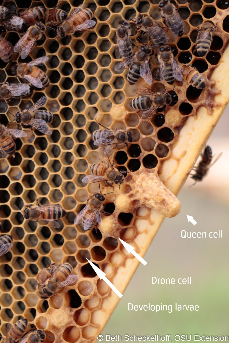 types of honey bee cells