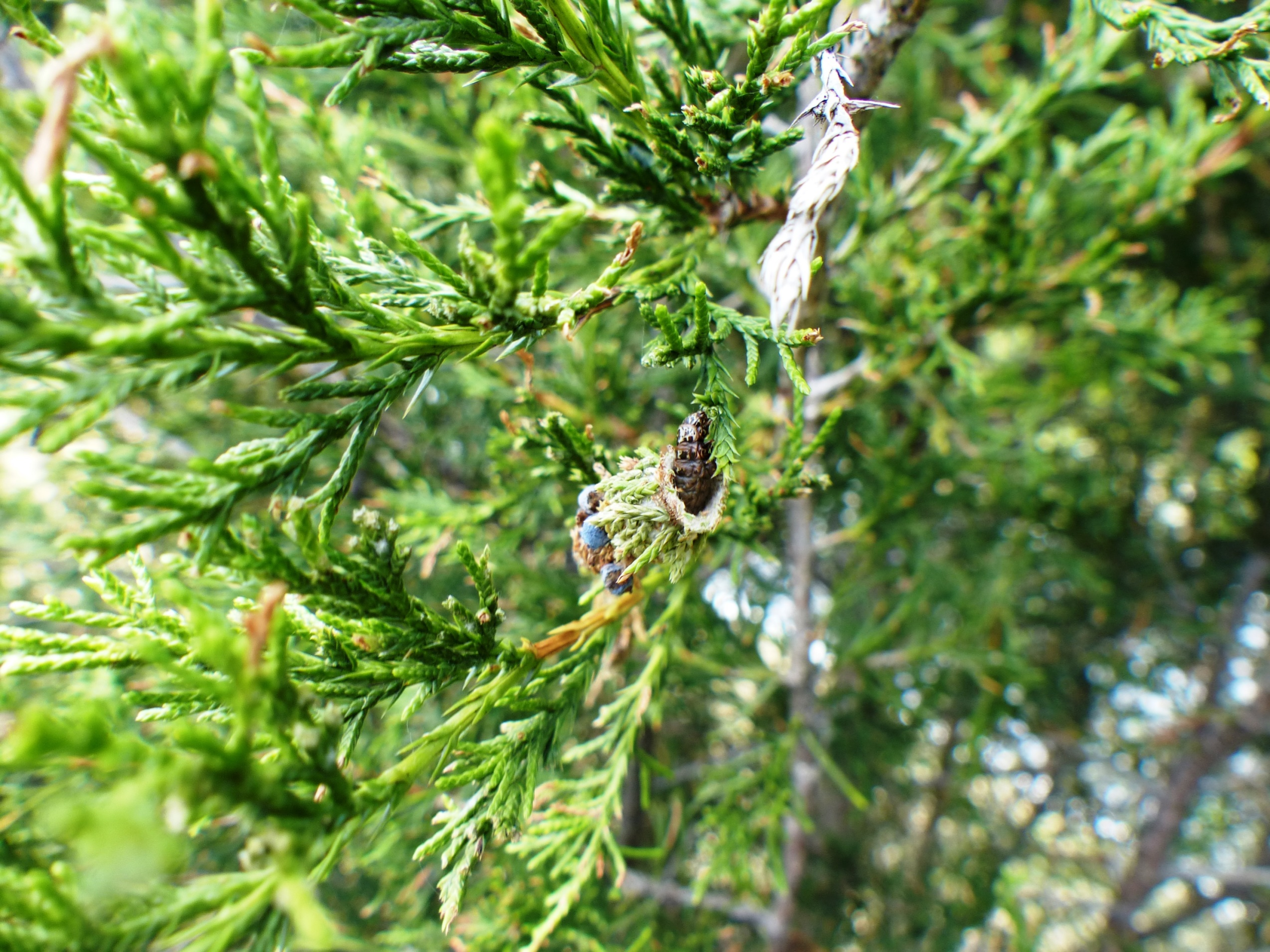 Bagworm out of bag on juniper