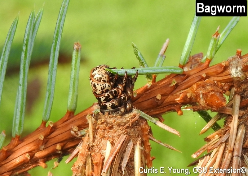 Bagworm eating spruce needle