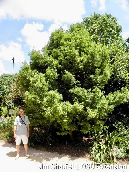 Bill Bargar and the result of his baldcypress broom propagation