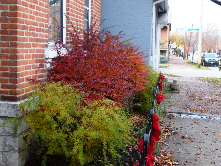 Barberry with orange-red-purple fall color