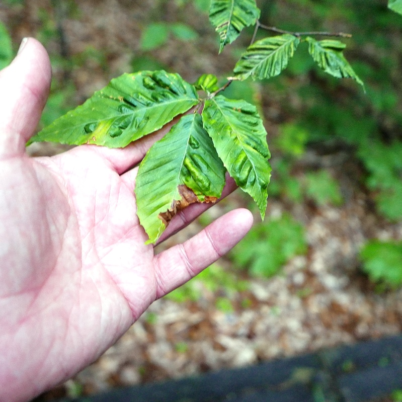 Leaf thickening and puckering from Beech leaf Disease