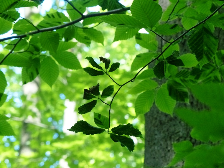 Leaf shrivelling from Beech Leaf Disease
