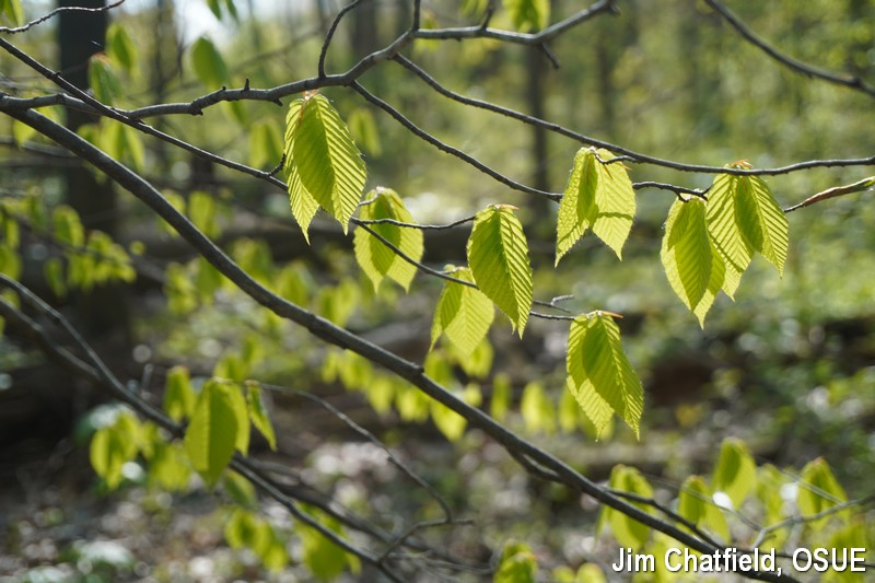 Emerging beech leaves