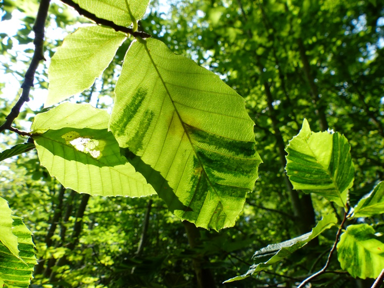 Leaf banding from Beech leaf Disease