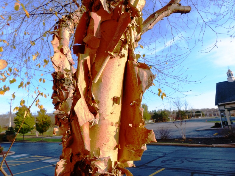 River birch and its bark