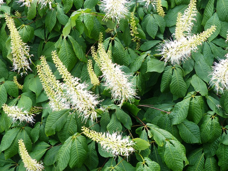 bottlebrush buckeye flowers