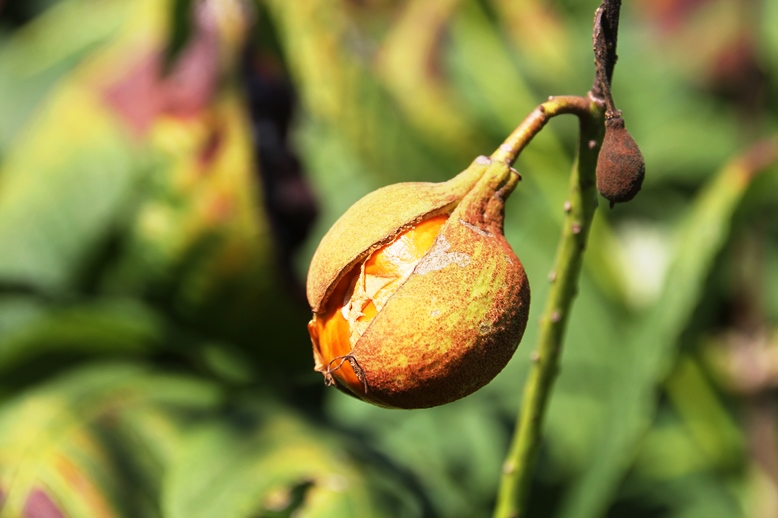 Bottlebrush buckeye fruit